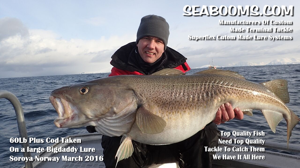 Large Norway Cod 60lb plus fish caught on seabooms.com BigDaddy lures